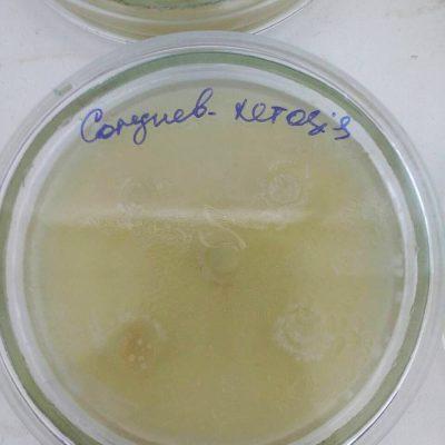 Антагонистическое активность симбиотика ЭНТЕРОНОРМИН™ Corynebacterium xerosis